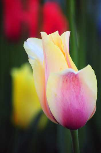 Tulip 16 from the Flowers collection by Chris Priedemann