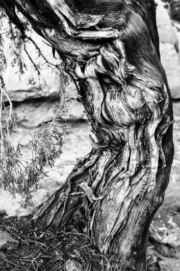 Gnarled Tree from the Natural Colorado Beauty collection by Natural Colorado Beauty