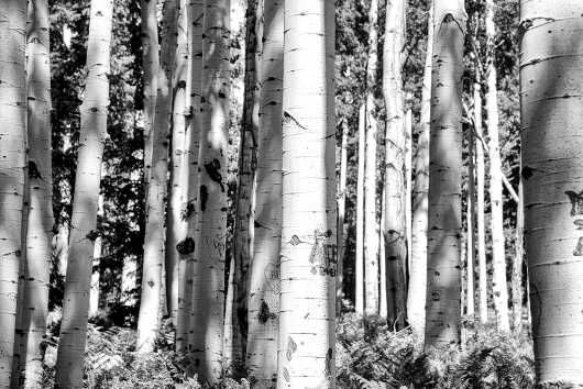 Flag Aspens from the Desert Life collection by Coty Montroy