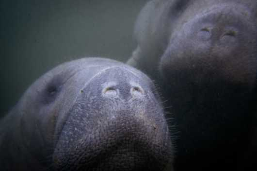 Manatees from the Manatees collection by Paul Dabill Photography