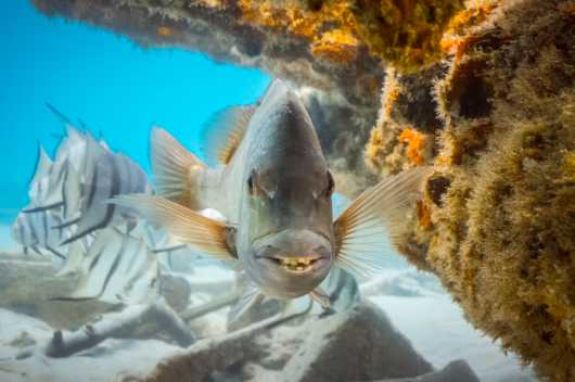 Sheepshead Smile from the Snappers, Palomettas, Lookdowns, Sheepshead collection by Paul Dabill Photography