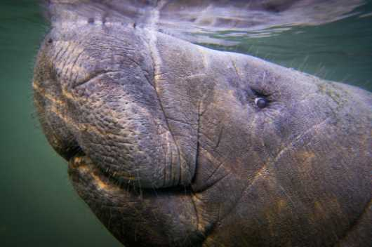 Manatee 9 from the Manatees collection by Paul Dabill Photography