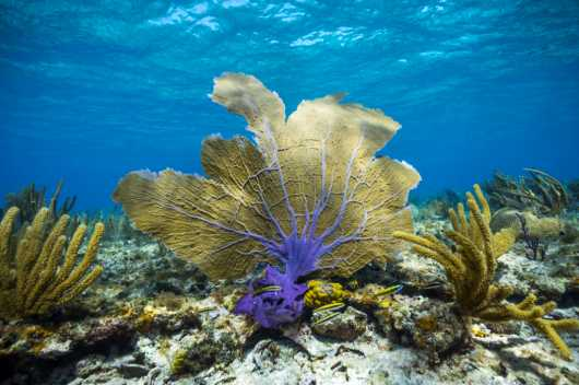 Bahamas Coral Purple from the Coral collection by Paul Dabill Photography