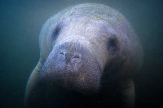 Manatee 11 from the Manatees collection by Paul Dabill Photography
