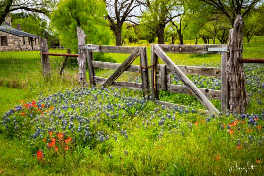 Texas Wildflowers, Wooden Gate, and Pioneer House, Stonewall, Texas from the Landscapes, etc. collection by Denise Lett