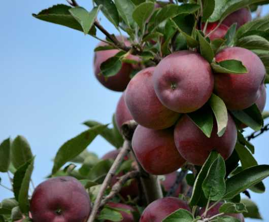 Picking Apples in Wrentham, MA from the Fall Fruits collection by jndphoto