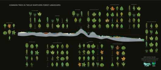 """Common Trees in Twelve Northern Forest Landscapes - Recommended print size 60"""" x 26"""" from the Woody plants collection by Northern Forest Atlas"""