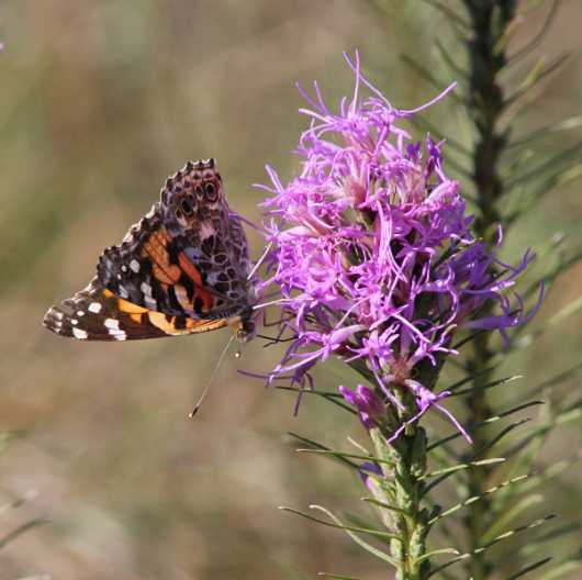 Painted Lady Nectaring on Gayfeather from the Images from GJM Nature Media collection by Guy Merchant