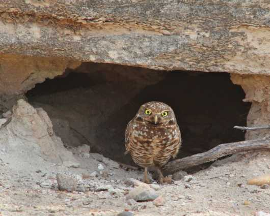 Burrowing Owl from the Images from GJM Nature Media collection by Guy Merchant