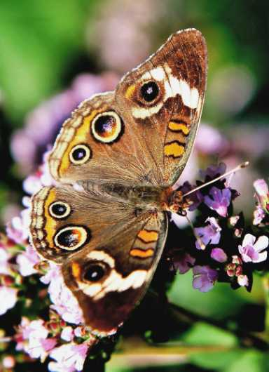 Common Buckeye from the Flowers and Butterflies collection by Gobblers Ridge Art