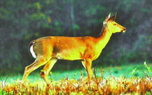 Morning Glory  from the Deer collection by Gobblers Ridge Art