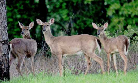 Threesome from the Deer collection by Gobblers Ridge Art