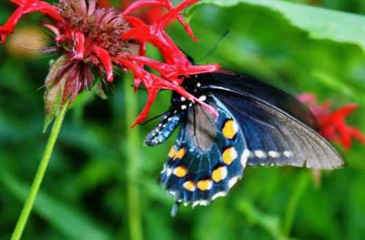 Black Swallow Tail  Butterfly from the Flowers and Butterflies collection by Gobblers Ridge Art