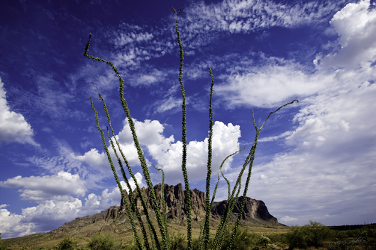 Superstition Mountain Ocotilla from the Desert Foliage collection by Lou Oates