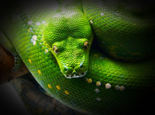 Tree Python from the Public Zoological Society Prints collection by Tom Perlongo Photography