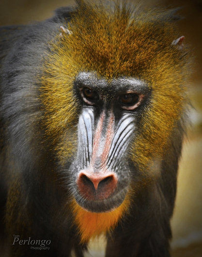 Prestigious Baba from the Public Zoological Society Prints collection by Tom Perlongo Photography