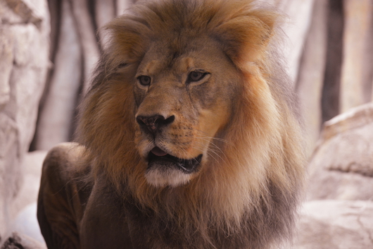 King  from the Public Zoological Society Prints collection by Tom Perlongo Photography