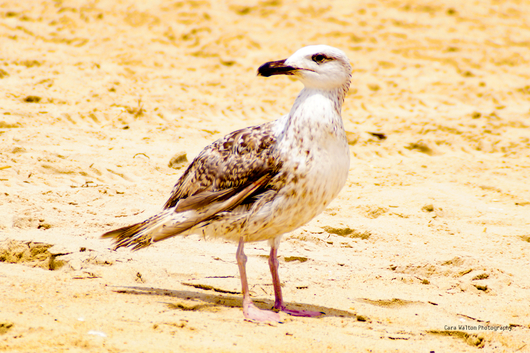 Gull from the The Outer Banks of North Carolina collection by Cara Walton