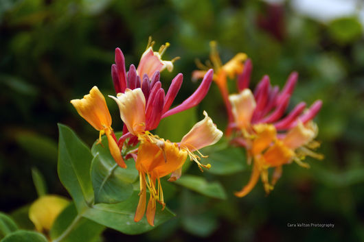 Honeysuckle from the The Outer Banks of North Carolina collection by Cara Walton