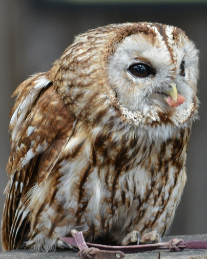 The Owl from the Public Zoological Society Prints collection by Tom Perlongo Photography
