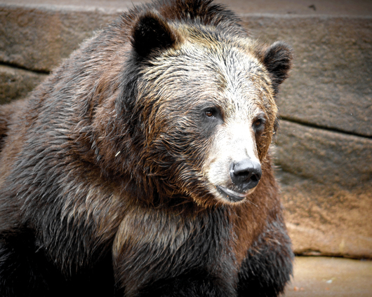 Gentle Ben from the Public Zoological Society Prints collection by Tom Perlongo Photography