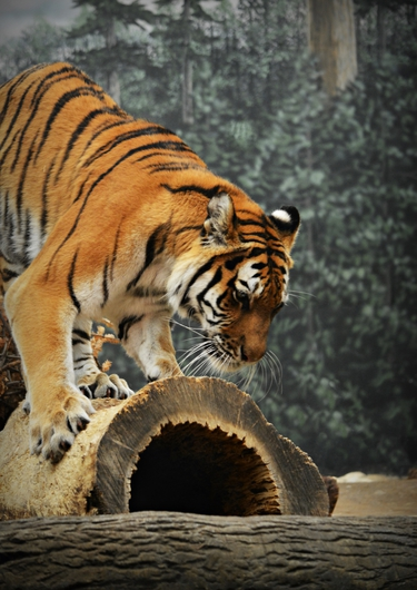 The Cautious Tiger from the Public Zoological Society Prints collection by Tom Perlongo Photography