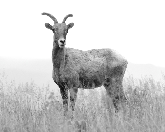 What Are Ewe Looking At from the The Prey collection by John Morey Photography - Natural Fine Art Photographics
