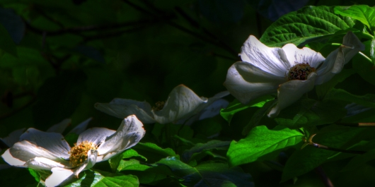 Dogwood Days from the My Summers In The Sierras collection by John Morey Photography - Natural Fine Art Photographics