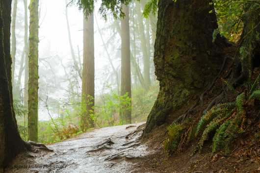 Foggy forest path in Oregon from the landscapes collection by Sharon Joubert
