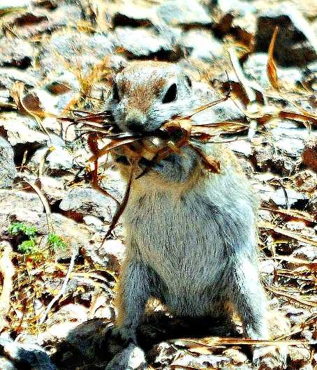 Nesting Ground Squirrel from the Critter of the Sonoran Desert collection by MJ Farmer