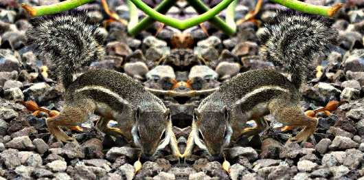Double Mikey Ground Squirrel from the Critter of the Sonoran Desert collection by MJ Farmer