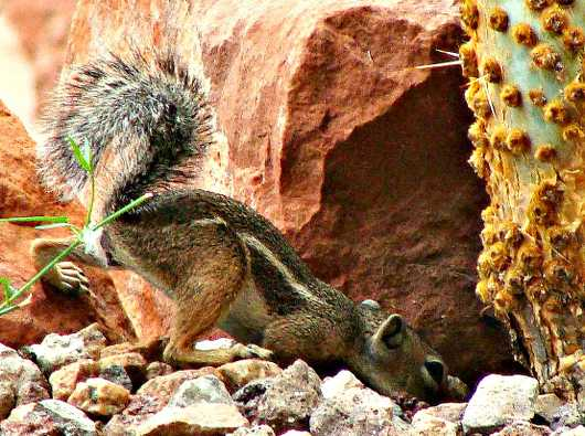 snooping_mikey.jpg from the Critter of the Sonoran Desert collection by MJ Farmer