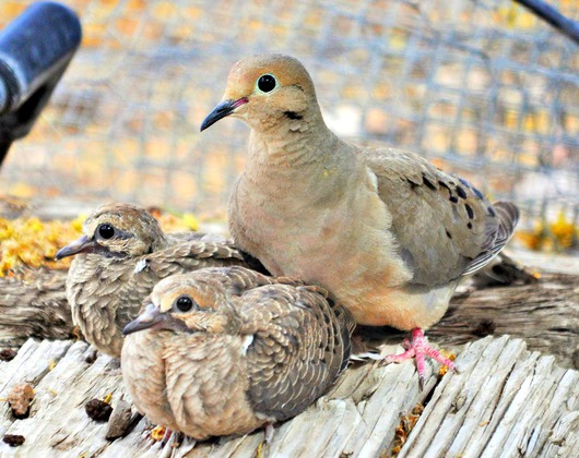 momma_and_baby_doves.jpg from the Critter of the Sonoran Desert collection by MJ Farmer