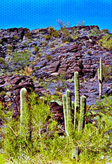 Tonto Saguaros from the Southwest Landscapes collection by MJ Farmer