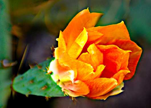 Orange Prickly Pear Bloom from the Sonoran Flora and Cactus collection by MJ Farmer
