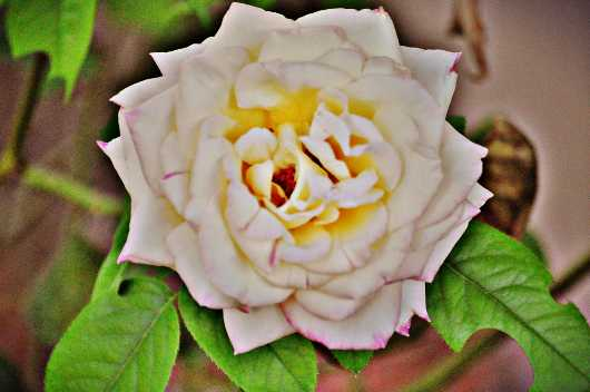 white_rose_chromatic.jpg from the Roses collection by MJ Farmer