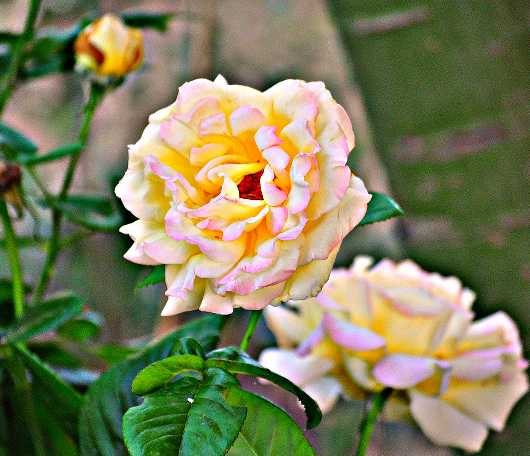beauty_rose.jpg from the Roses collection by MJ Farmer