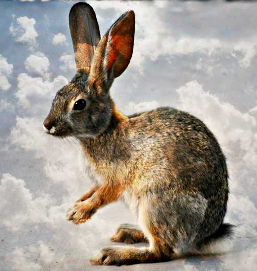 praying_bunny_in_clouds.jpg from the Critter of the Sonoran Desert collection by MJ Farmer