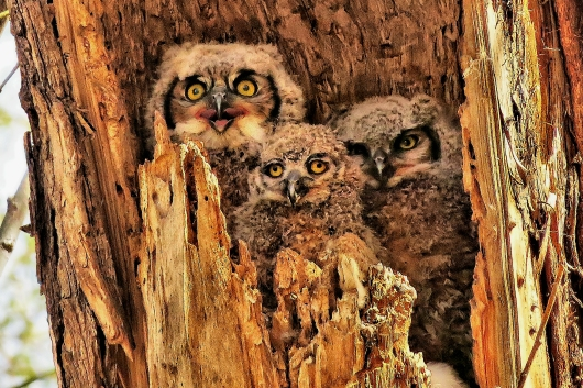7954 - The Three Stooges! - Great Horned Owlets In A Crowded Nest - Twin Lakes, Boulder County, CO from the Colorado landscapes, sunsets, birds, nature collection by Martin Tobias