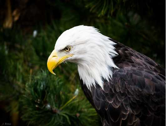 Eagle Eye from the Animals collection by Jonathan D. Bass
