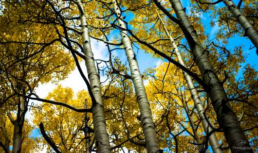 Aspen Metallic Bark from the Gallery Photos  collection by Andy Rivera