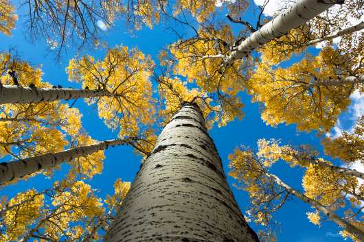 Aspen Tree Metallic Bark Sky View  from the Gallery Photos  collection by Andy Rivera
