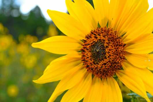 Sun Flower Detail  from the Gallery Photos  collection by Andy Rivera