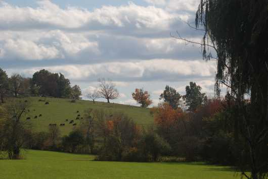 Peaceful Cows Grazing from the Fall Landscape  collection by jndphoto
