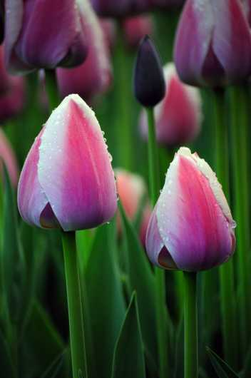 Dewey Tulips from the Chris Priedemann Photography collection by Chris Priedemann